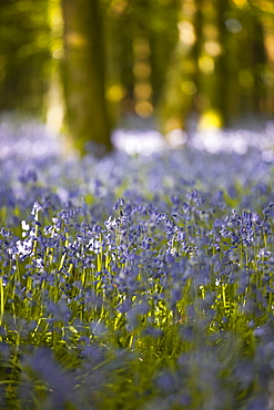Bluebells, Hillfield Hill, Dorset, England, United Kingdom, Europe