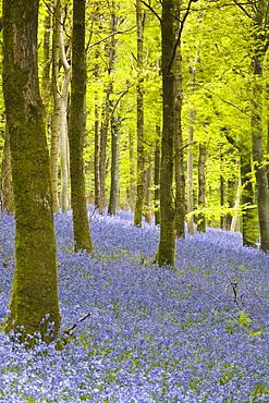 Bluebells, Delcombe Wood, Dorset, England, United Kingdom, Europe