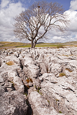 An old and twisted tree in a limestone pavement near to Malham in the Yorkshire Dales, Yorkshire, England, United Kingdom, Europe