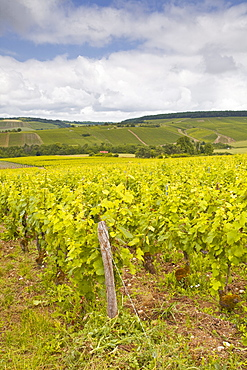 Champagne vineyards in the Cote des Bar area of the Aube department, Champagne-Ardennes, France, Europe