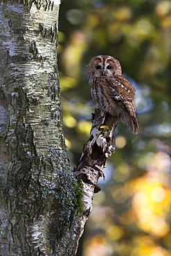 Tawny Owl perched on a birch in autumn- GB