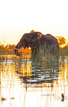 African Elephant at dawn, Okavango Delta Botswana