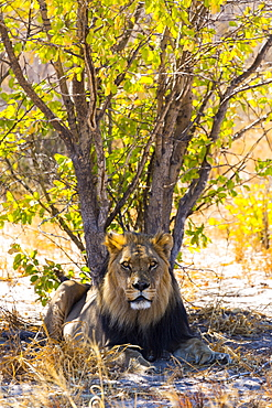 Lion in the shade of a tree, Kalahari Botswana