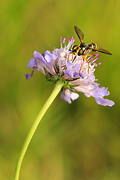 Conops fly on Field scabious flower, Picardy France
