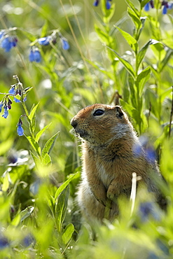 Arctic ground squirrel and wild flowers, Denali NP Alaska
