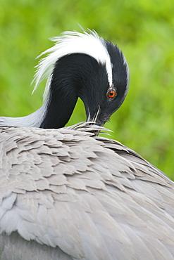 Portrait of  Demoiselle Crane, Bird Park Brazil