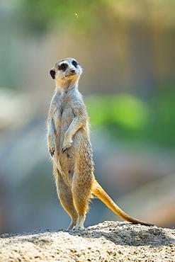 Meerkat standing on rock