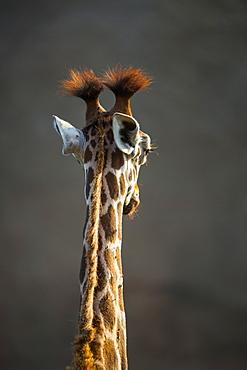 Portrait of Rothschild's Giraffe