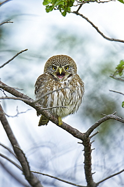 Austral Pigmy-owl on a branch, Torres del Paine NP Chile