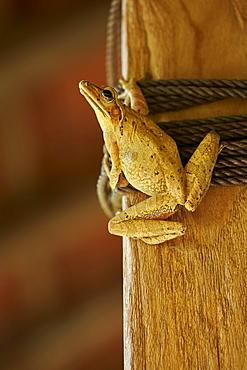Asian Brown Treefrog inside a house, Bali Indonésia