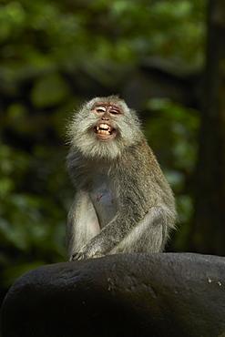 Long-tailed Macaque, Ubud Monkey Forest Bali Indonésia
