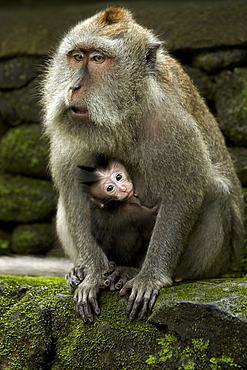 Long-tailed Macaques, Sacred Monkey Forest Sanctuary Bali