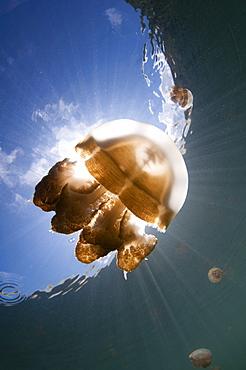 Jellyfish in a lake, Kakaban Island  Indonesia