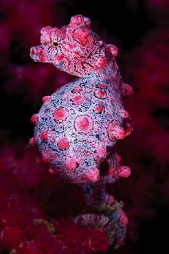 Pregnant pygmy seahorse, Komodo Indonesia