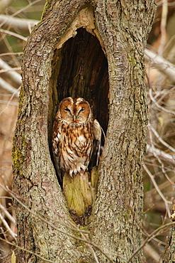 Tawny Owl in hollow tree, Ardennes Belgium