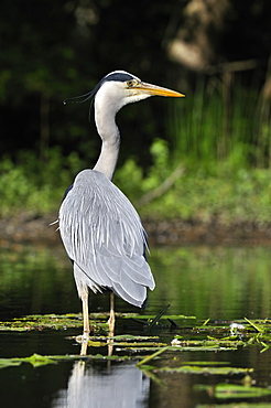 Grey Heron among the leaves of yellow water lily, France