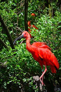 Scarlet Ibis on a branch, France Parc des Oiseaux