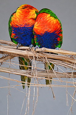 Rainbow  Lorikeets on a liane, France Parc des Oiseaux