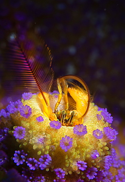 Coral hermit crab and Coral polyps, Haapai Tonga