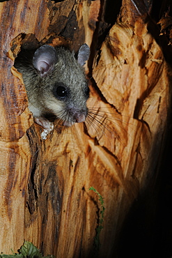 Female Fat dormouse at nest, France
