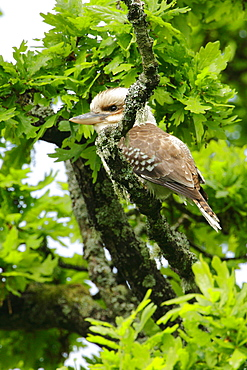 Kookaburra on a branch, Scotland UK