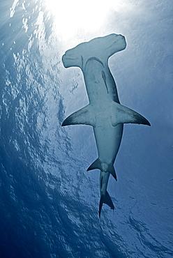 Great Hammerhead Shark under the surface, Bahamas Caribbean