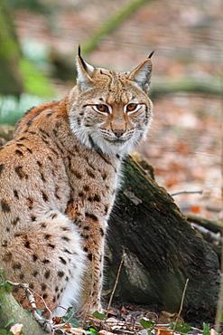Eurasian lynx on leaves