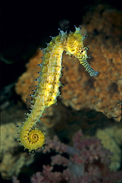 Spiny seahorse in the reef, Red Sea