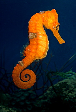 Tiger tail seahorse, Indonesia