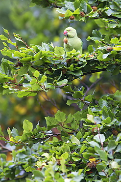 Ring-necked Parakeet perched in a beech in autumn, GB
