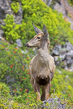 South Andean Huemul female, Torres del Paine  Chile