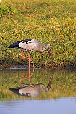 Asian Openbill in water, Rajasthan India