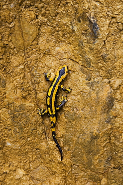 Speckled Salamander on muddy cliff, Pyrenees France