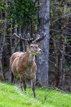 Red deer velvet in a clearing, France