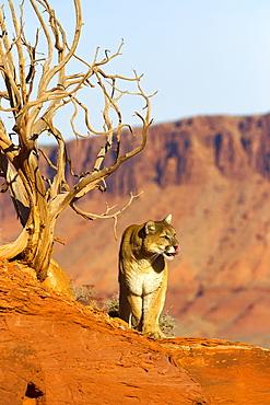 Puma on a rock and dead tree, Utah USA