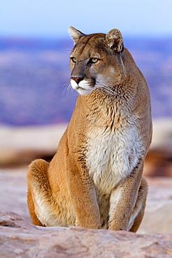 Puma sitting on rock, Utah USA