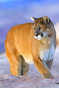 Puma on rock, Utah USA