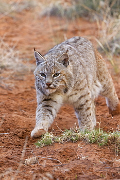 Bobcat walking in the bushes, Utah USA