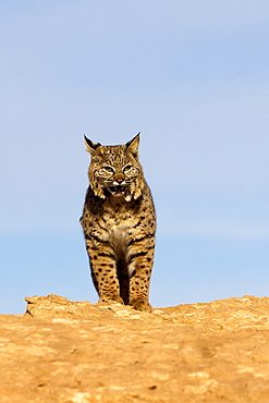 Bobcat on cliff, Utah USA