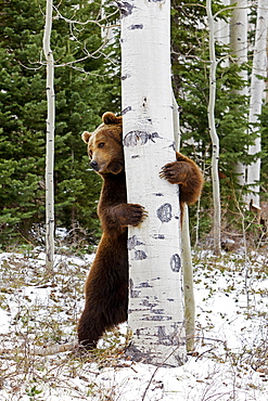 Grizzly surrounding a trunk, Utah USA