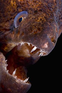 Portrait of Giant Moray Eel- Papua New Guinea