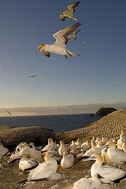 Australian Gannet colony,  New Zealand