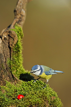 Blue tit on a stump covered with moss, France