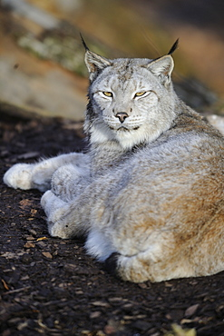 Siberian lynx resting