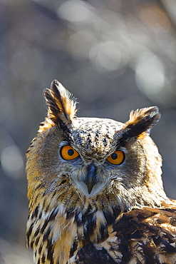 Portrait of Eurasian Eagle-owl, Cantabria Spain