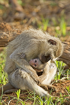 Green monkey breastfeeding her young, Kruger South Africa