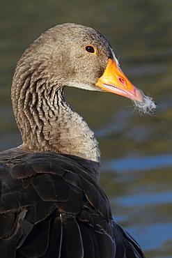 Portrait of Bean Goose, France