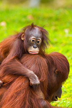 Bornean Orang-utan female and young