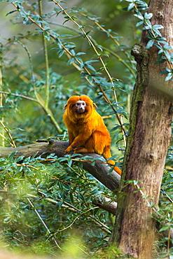 Golden Lion Tamarin on a branch