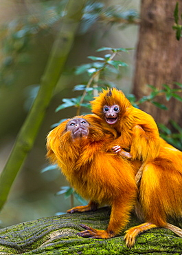 Golden Lion Tamarin and young on a branch